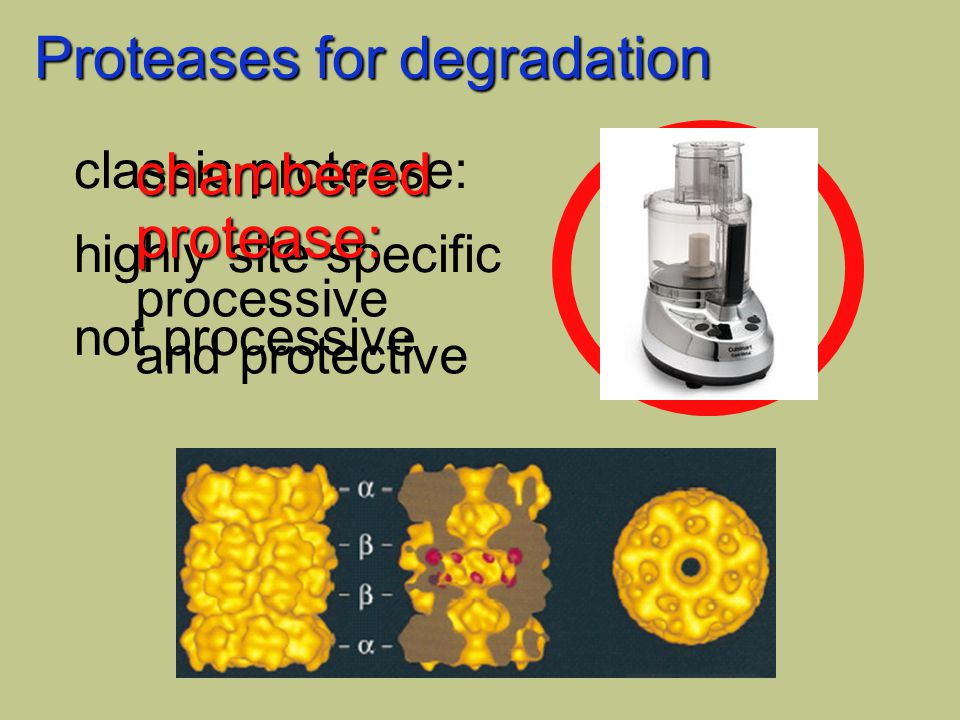 Proteases for degradation classic protease: highly site specific not processive chamberedprotease: processive and protective