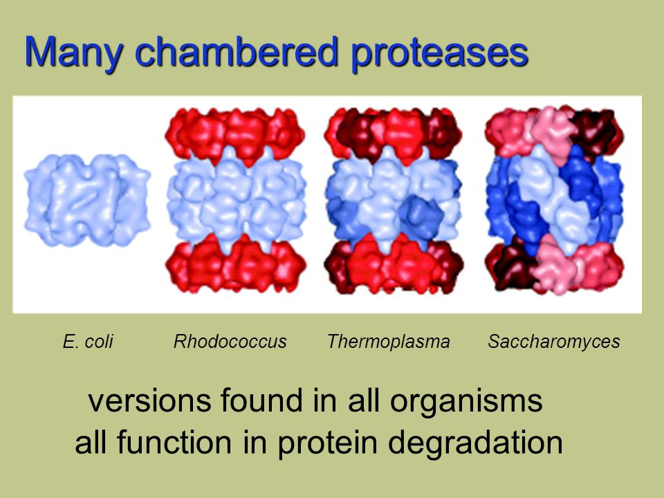 Many chambered proteases E. coliRhodococcus ThermoplasmaSaccharomyces versions found in all organisms all function in protein degradation