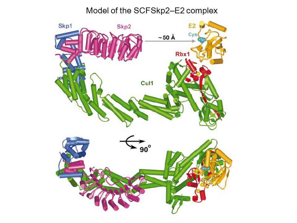 Model of the SCFSkp2–E2 complex