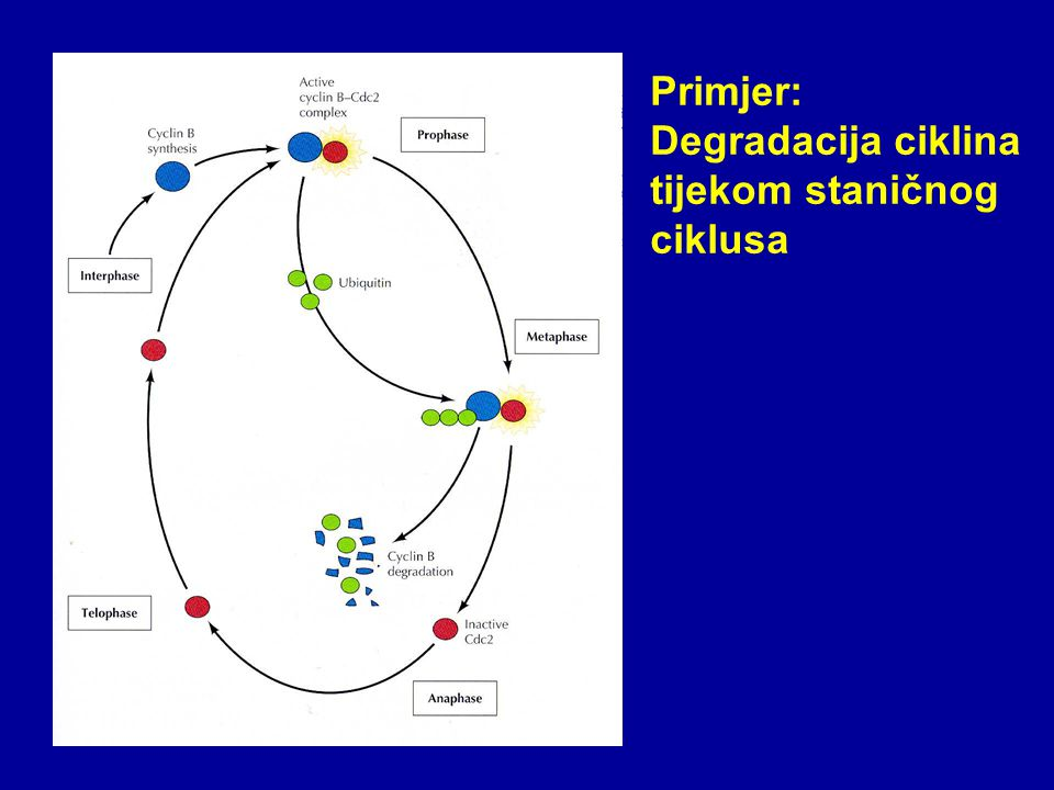 The ubiquitin system of S.
