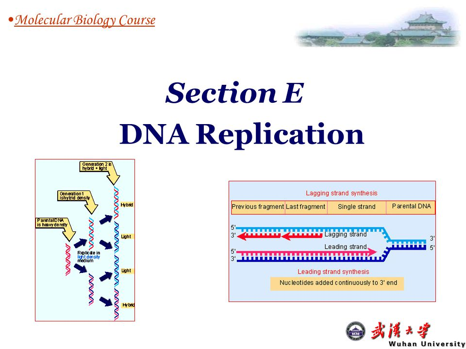 E3: Eukaryotic DNA replication Molecular Biology Course E1: DNA Replication: An Overview Replicons, semi-conservative, semi- discontinous, RNA priming E2: Bacterial DNA replication Experimental system, initiation, unwinding, elongation, termination & segregation Experimental system, cell cycle, initiation, replication forks, nuclear matrix, telomere repl.