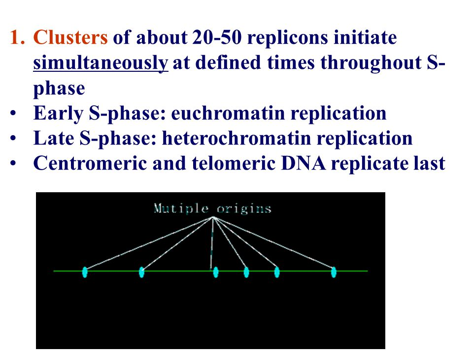 1.Clusters of about 20-50 replicons initiate simultaneously at defined times throughout S- phase Early S-phase: euchromatin replication Late S-phase: