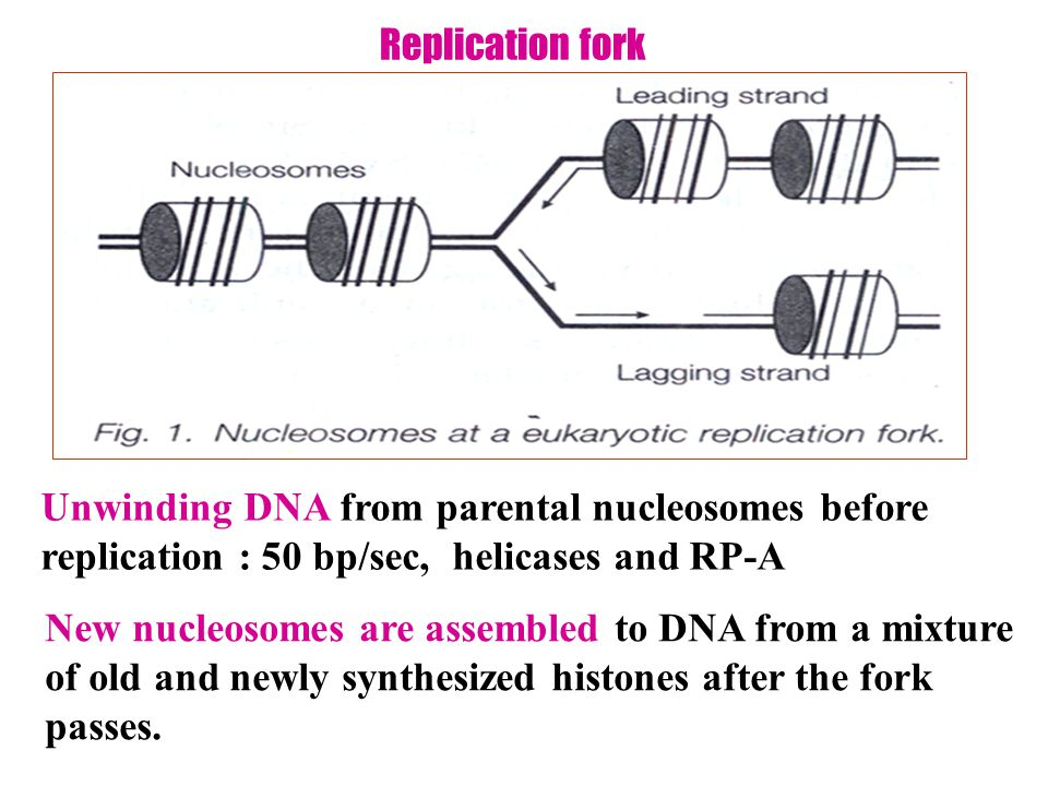 Replication fork Unwinding DNA from parental nucleosomes before replication : 50 bp/sec, helicases and RP-A New nucleosomes are assembled to DNA from