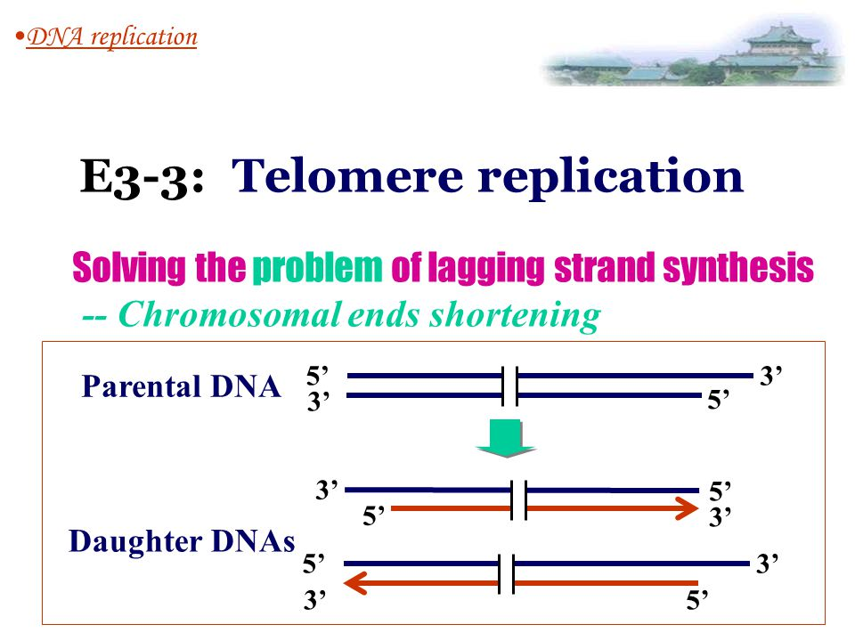 E3-3: Telomere replication DNA replication Solving the problem of lagging strand synthesis -- Chromosomal ends shortening 5' 3' 5'3' 5' 3' 5' 3' 5' 3'