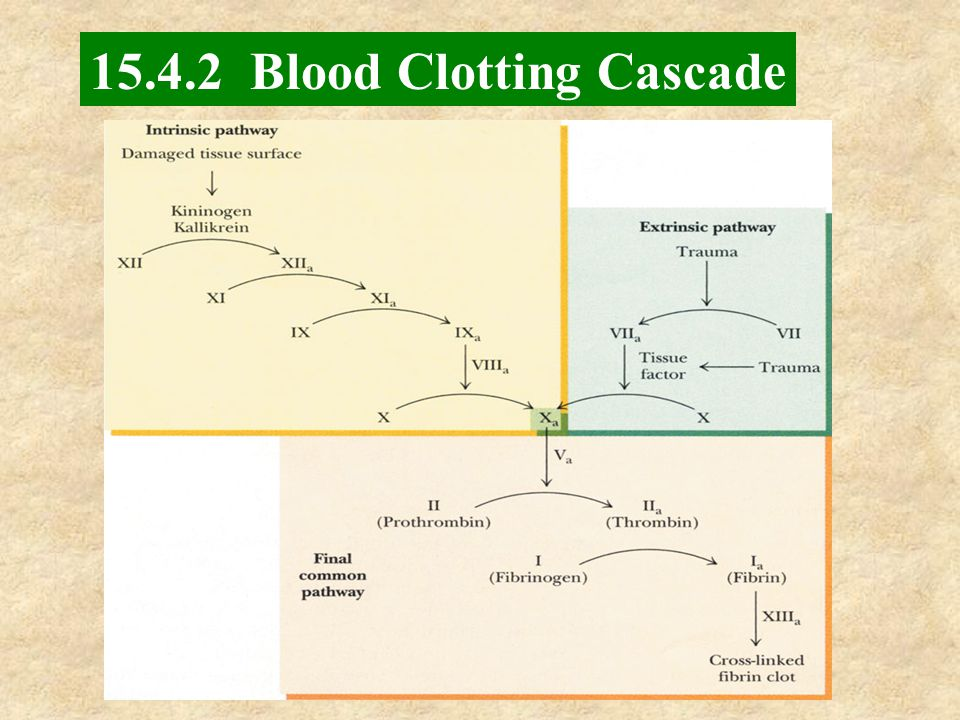 15.4.2 Blood Clotting Cascade