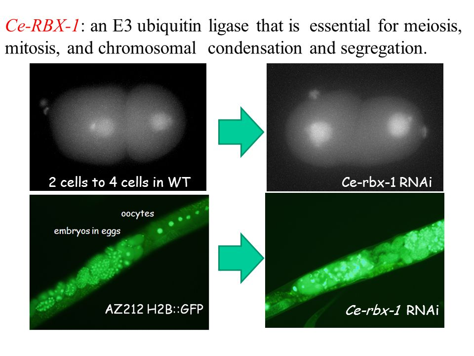 Ce-RBX-1: an E3 ubiquitin ligase that is essential for meiosis, mitosis, and chromosomal condensation and segregation. Ce-rbx-1 RNAi 2 cells to 4 cell