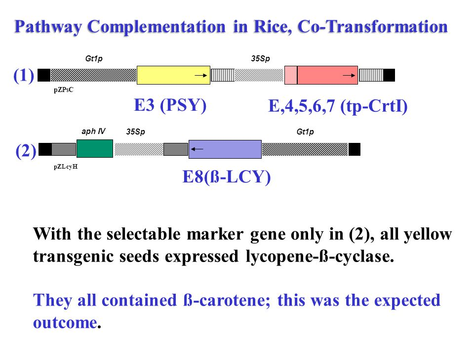 Pathway Complementation in Rice, Co-Transformation E3 (PSY) E,4,5,6,7 (tp-CrtI) E8(ß-LCY) With the selectable marker gene only in (2), all yellow transgenic seeds expressed lycopene-ß-cyclase.