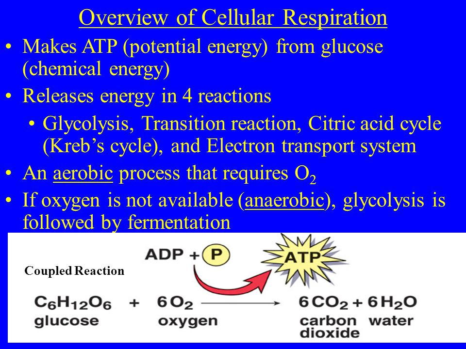 Overview of Cellular Respiration Makes ATP (potential energy) from glucose (chemical energy) Releases energy in 4 reactions Glycolysis, Transition reaction, Citric acid cycle (Kreb's cycle), and Electron transport system An aerobic process that requires O 2 If oxygen is not available (anaerobic), glycolysis is followed by fermentation Coupled Reaction