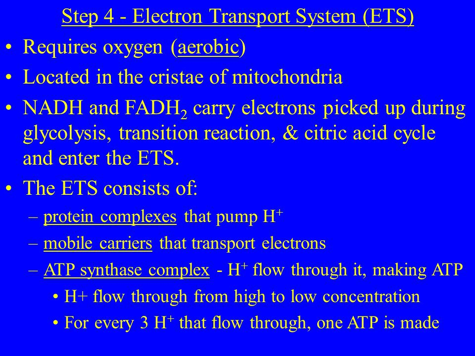 Step 4 - Electron Transport System (ETS) Requires oxygen (aerobic) Located in the cristae of mitochondria NADH and FADH 2 carry electrons picked up during glycolysis, transition reaction, & citric acid cycle and enter the ETS.