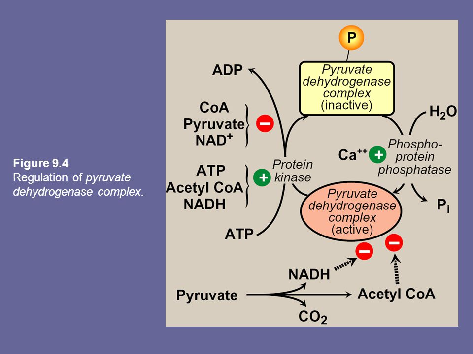 Figure 9.4 Regulation of pyruvate dehydrogenase complex.