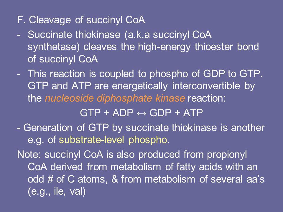 F. Cleavage of succinyl CoA -Succinate thiokinase (a.k.a succinyl CoA synthetase) cleaves the high-energy thioester bond of succinyl CoA -This reactio