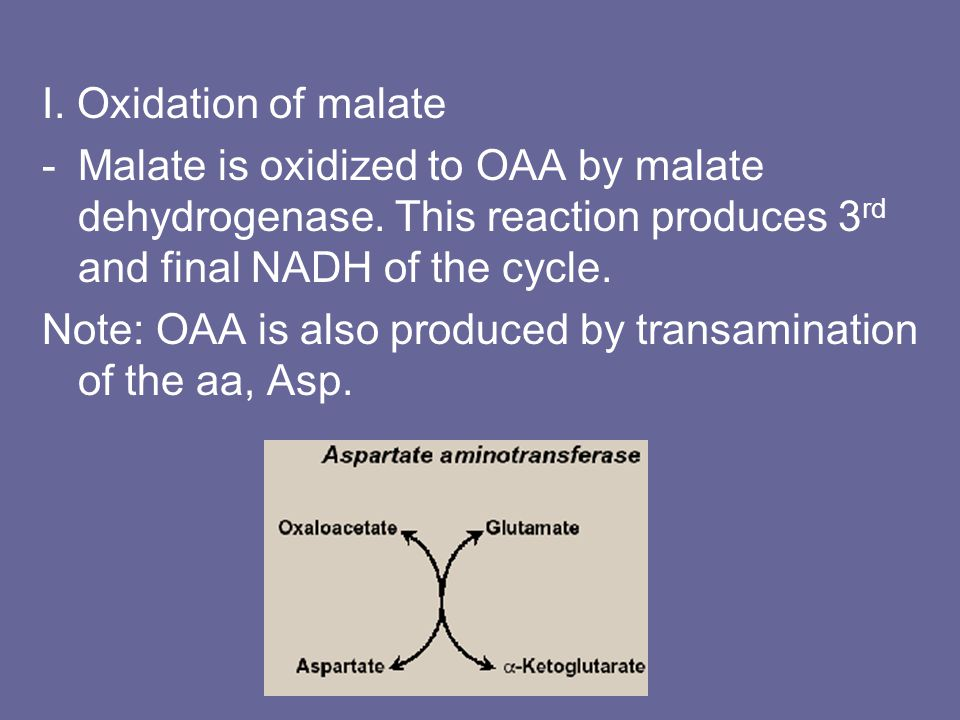 I. Oxidation of malate -Malate is oxidized to OAA by malate dehydrogenase.