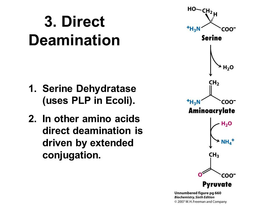 3. Direct Deamination 1.Serine Dehydratase (uses PLP in Ecoli). 2.In other amino acids direct deamination is driven by extended conjugation.