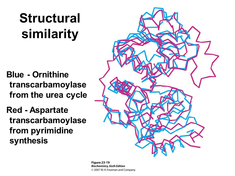 Structural similarity Blue - Ornithine transcarbamoylase from the urea cycle Red - Aspartate transcarbamoylase from pyrimidine synthesis