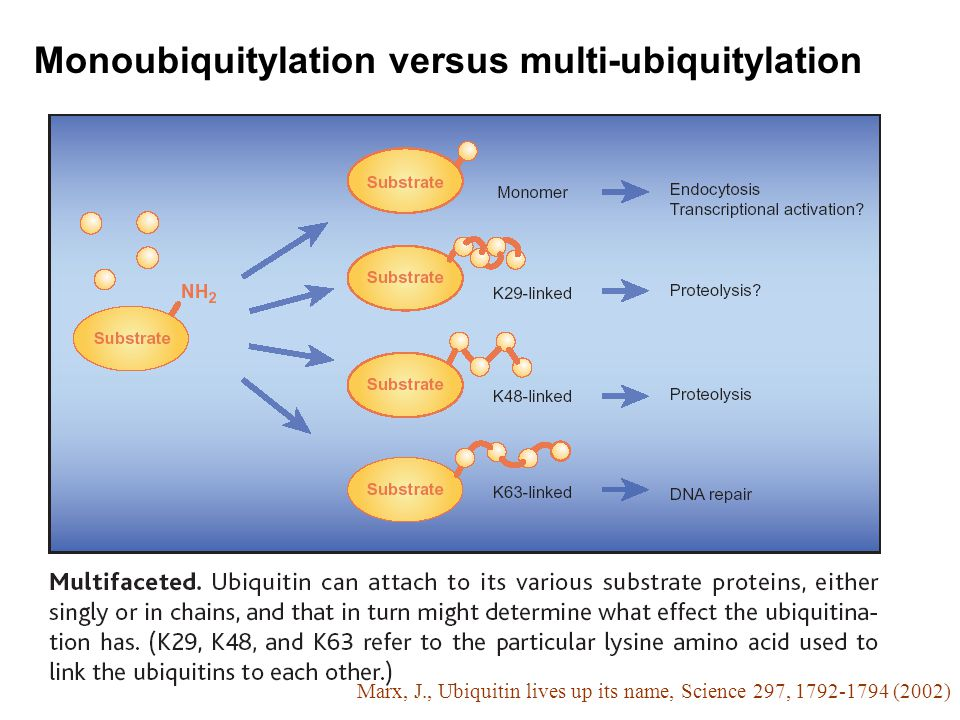 Monoubiquitylation versus multi-ubiquitylation Marx, J., Ubiquitin lives up its name, Science 297, 1792-1794 (2002)