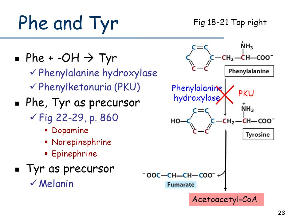 28 Acetoacetyl-CoA Fig 18-21 Top right Phe and Tyr Phe + -OH  Tyr Phenylalanine hydroxylase Phenylketonuria (PKU) Phe, Tyr as precursor Fig 22-29, p.