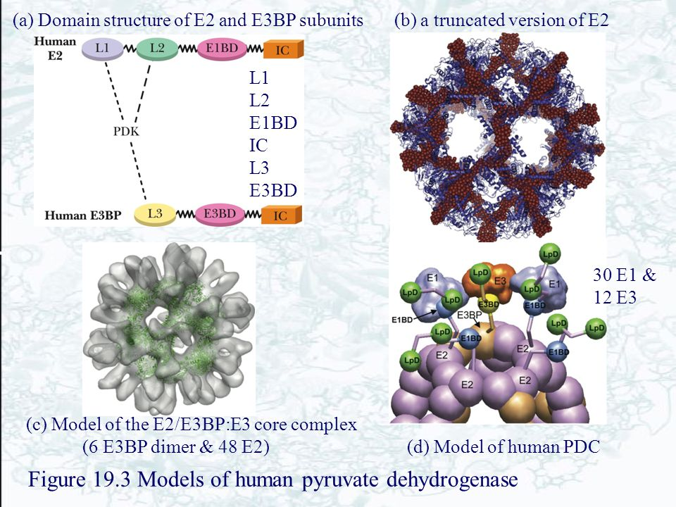 Figure 19.3 Models of human pyruvate dehydrogenase (b) a truncated version of E2(a) Domain structure of E2 and E3BP subunits (c) Model of the E2/E3BP: