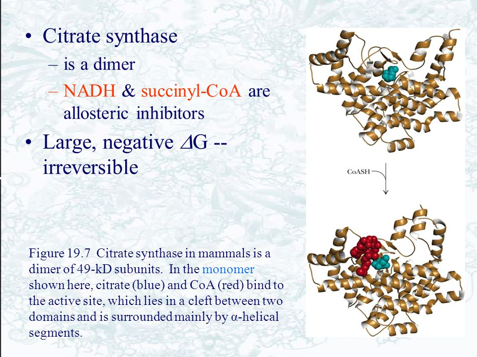 Citrate synthase –is a dimer –NADH & succinyl-CoA are allosteric inhibitors Large, negative  G -- irreversible Figure 19.7 Citrate synthase in mammal