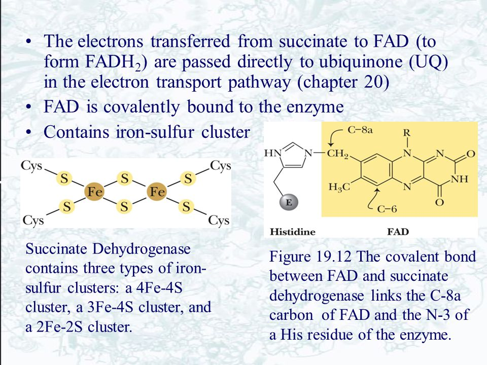 The electrons transferred from succinate to FAD (to form FADH 2 ) are passed directly to ubiquinone (UQ) in the electron transport pathway (chapter 20