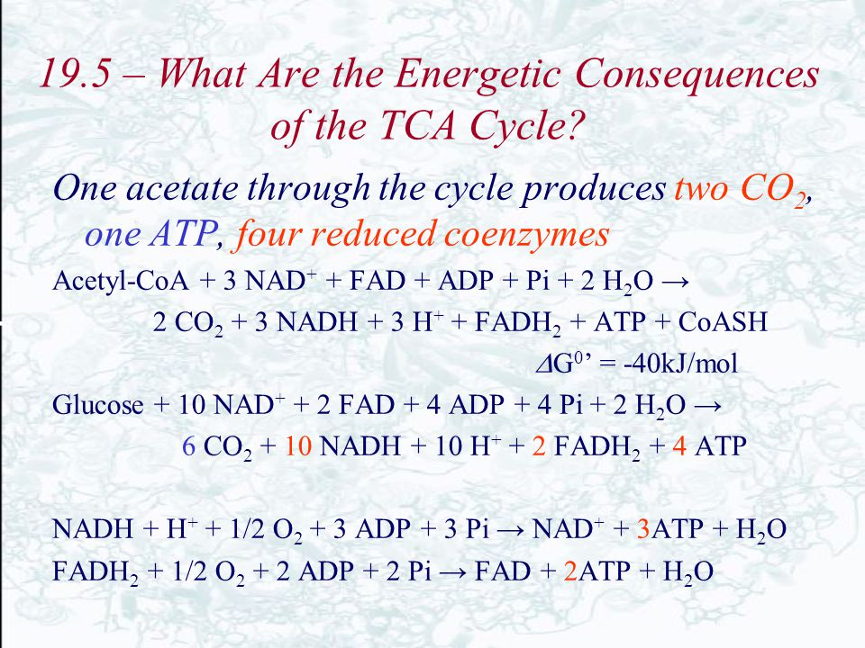 19.5 – What Are the Energetic Consequences of the TCA Cycle? One acetate through the cycle produces two CO 2, one ATP, four reduced coenzymes Acetyl-C