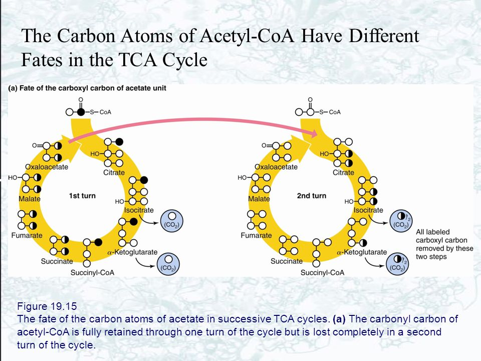 Figure 19.15 The fate of the carbon atoms of acetate in successive TCA cycles. (a) The carbonyl carbon of acetyl-CoA is fully retained through one tur
