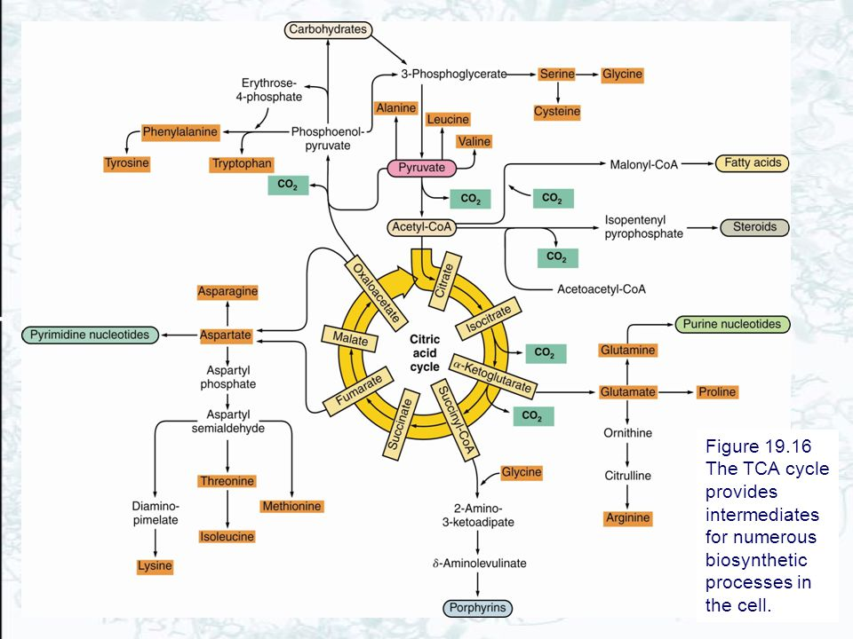 Figure 19.16 The TCA cycle provides intermediates for numerous biosynthetic processes in the cell.