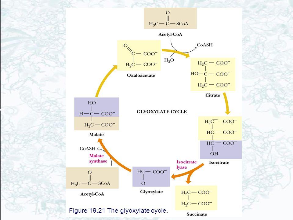 Figure 19.21 The glyoxylate cycle.