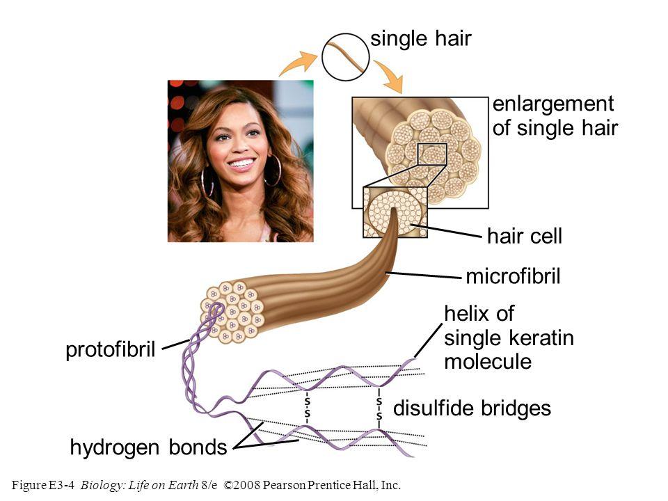 Figure E3-4 Biology: Life on Earth 8/e ©2008 Pearson Prentice Hall, Inc.