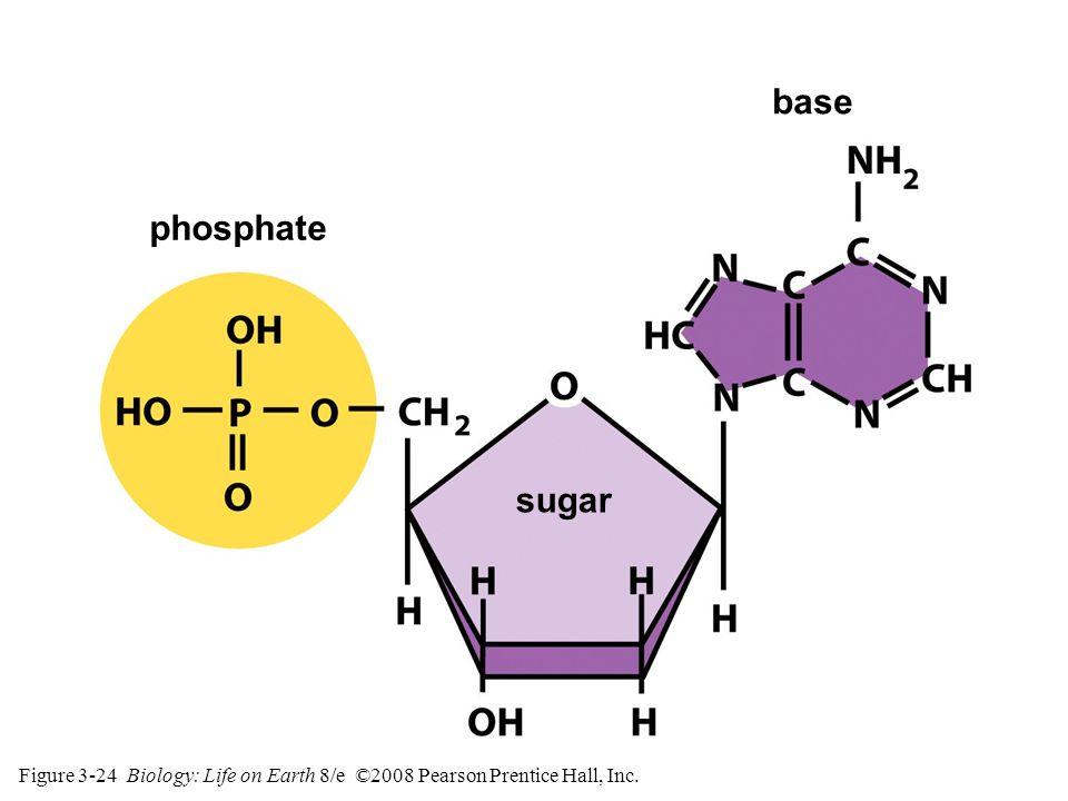 Figure 3-24 Biology: Life on Earth 8/e ©2008 Pearson Prentice Hall, Inc. phosphate sugar base