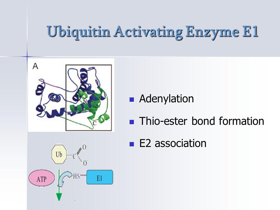 Ubiquitin Activating Enzyme E1 Adenylation Adenylation Thio-ester bond formation Thio-ester bond formation E2 association E2 association