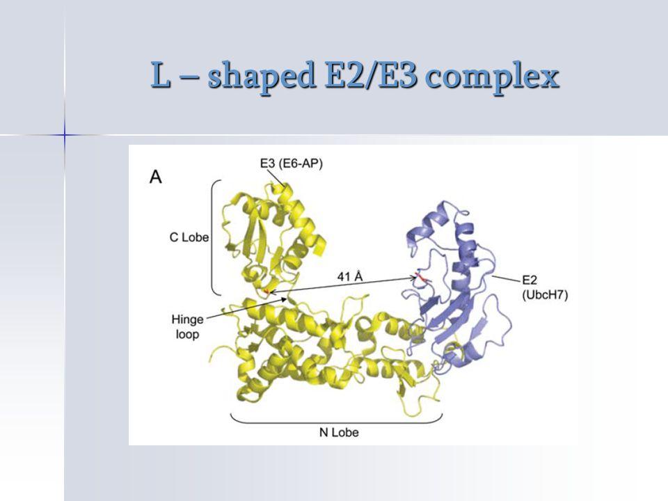 L – shaped E2/E3 complex