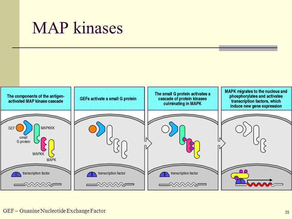35 MAP kinases GEF – Guanine Nucleotide Exchange Factor