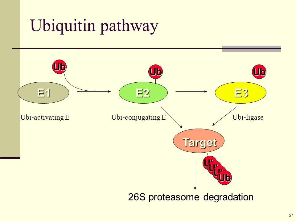57 Ub E1 Ub E2 Ub E3 Ub 26S proteasome degradation Target Ub Ub Ub Ubiquitin pathway Ubi-activating EUbi-conjugating EUbi-ligase