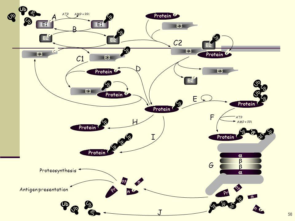 58 Ub ATP AMP + PPi E1 Ub E1 C E2 C Ub E3 C Ub Protein K Ub E3 Protein K K E2 Ub E3 Ub Protein K E3 E2 C Ub Protein Ub AMP + PPi   Protein K K K K K K K K Proteosynthesis Antigen presentation H A B C1 C2 D E  Ub Protein Ub ATP Protein Ub Protein Ub I F G J 
