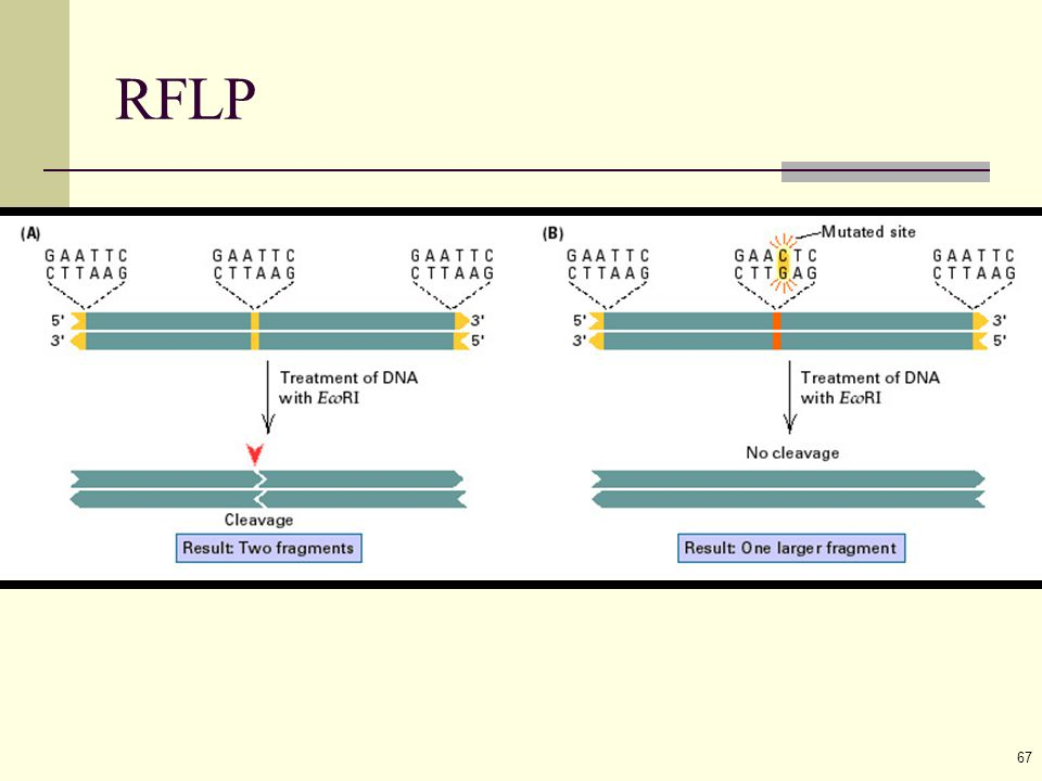67 RFLP