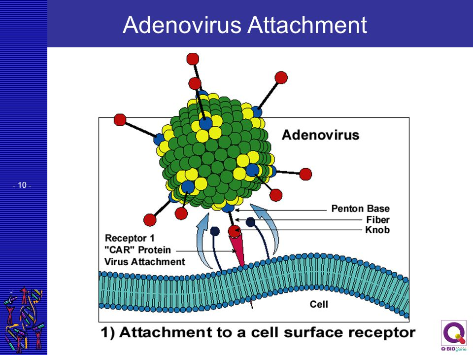 - 10 - Adenovirus Attachment