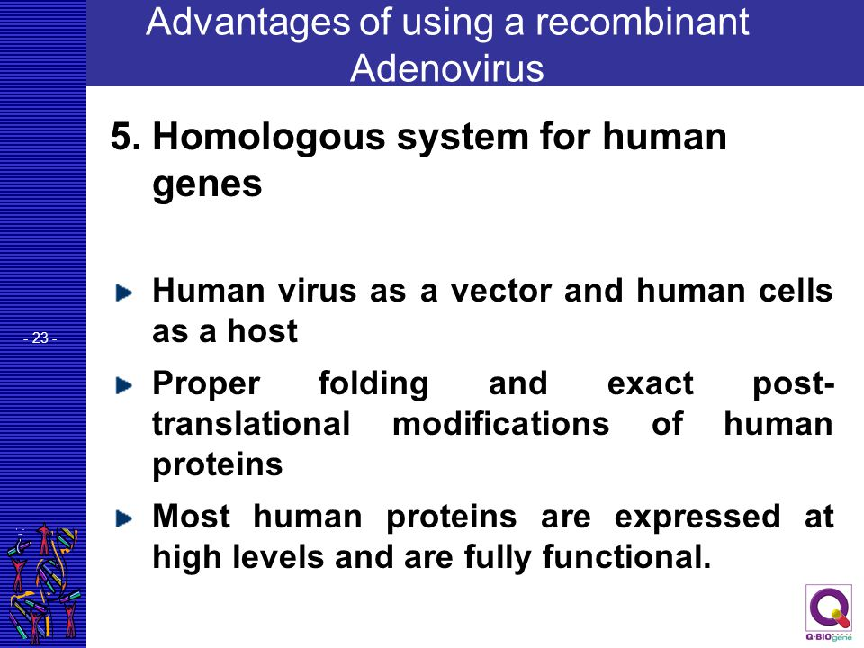 - 23 - Advantages of using a recombinant Adenovirus 5. Homologous system for human genes Human virus as a vector and human cells as a host Proper fold