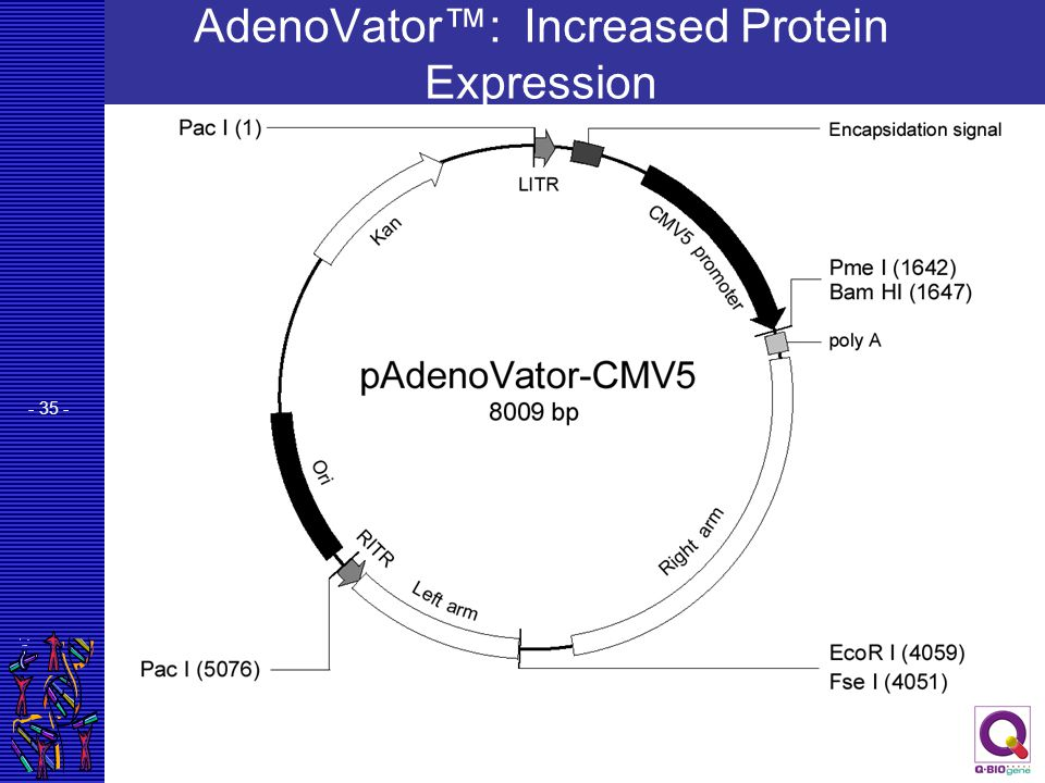 - 35 - AdenoVator™: Increased Protein Expression