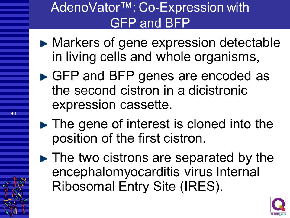 - 40 - AdenoVator™: Co-Expression with GFP and BFP Markers of gene expression detectable in living cells and whole organisms, GFP and BFP genes are en