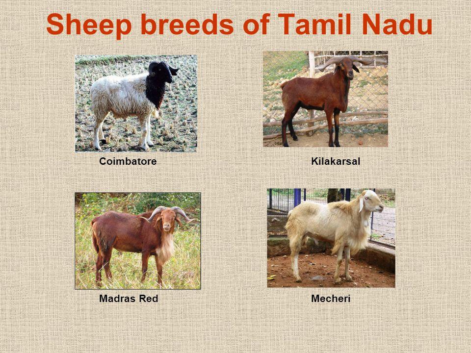 Tiruchy Black Vembur Nilagiri Ramnad White Sheep breeds of Tamil Nadu