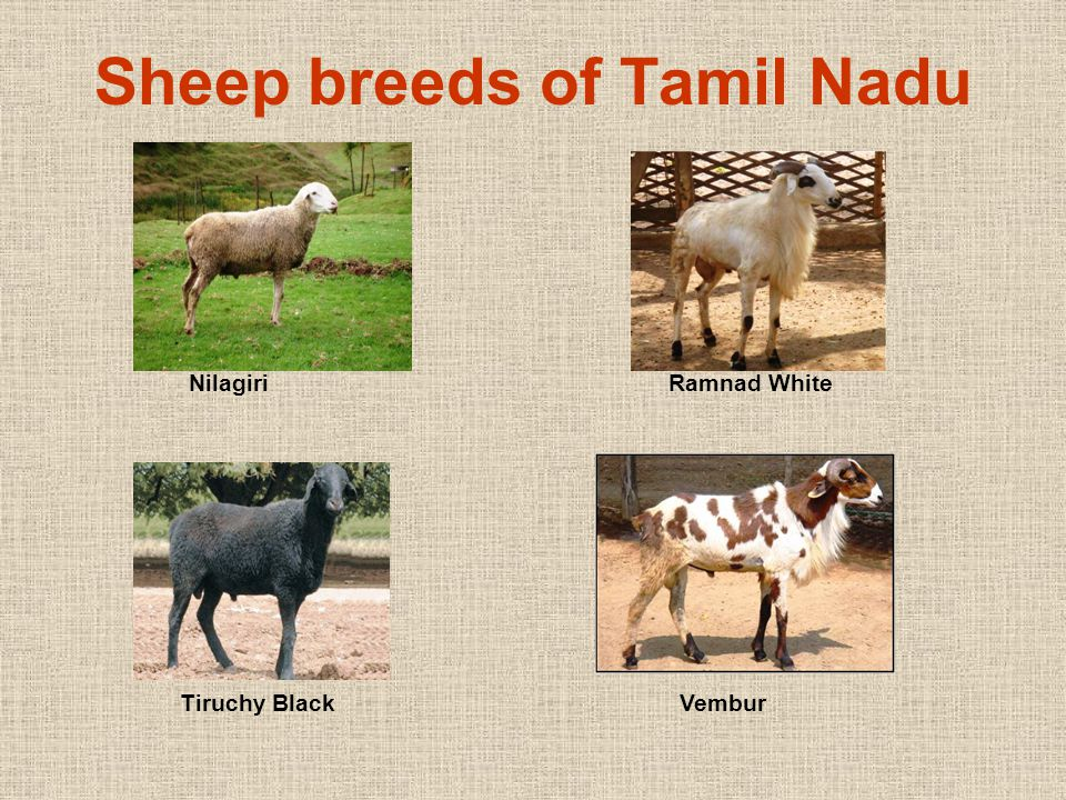 Nilagiri sheep  Native to the Nilgiris of Tamil Nadu  Evolved during 19 th century  Contains unknown levels of inheritance of Coimbatore, Tasmanian Merino, Cheviot and South Down breeds of sheep (Rao et al., 1960).