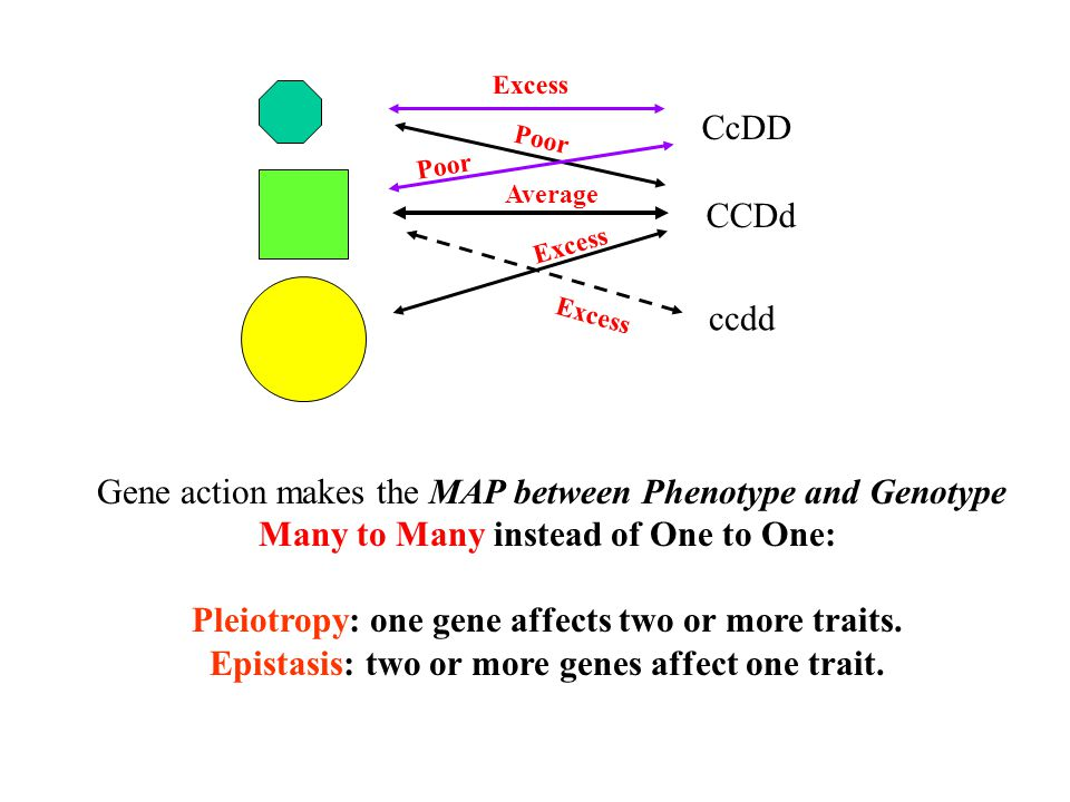 CCDd Average Poor Excess CcDD Poor Excess ccdd Excess Gene action makes the MAP between Phenotype and Genotype Many to Many instead of One to One: Ple