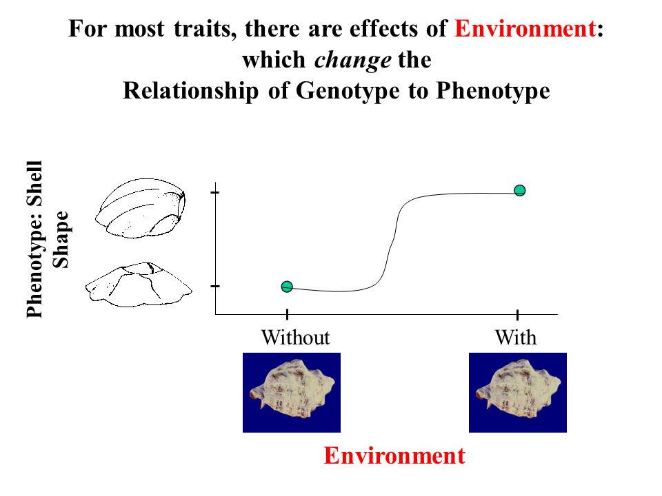 For most traits, there are effects of Environment: which change the Relationship of Genotype to Phenotype Phenotype: Shell Shape Environment WithoutWi