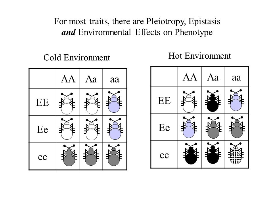 AAAaaa EE Ee ee Cold Environment AAAaaa EE Ee ee Hot Environment For most traits, there are Pleiotropy, Epistasis and Environmental Effects on Phenoty