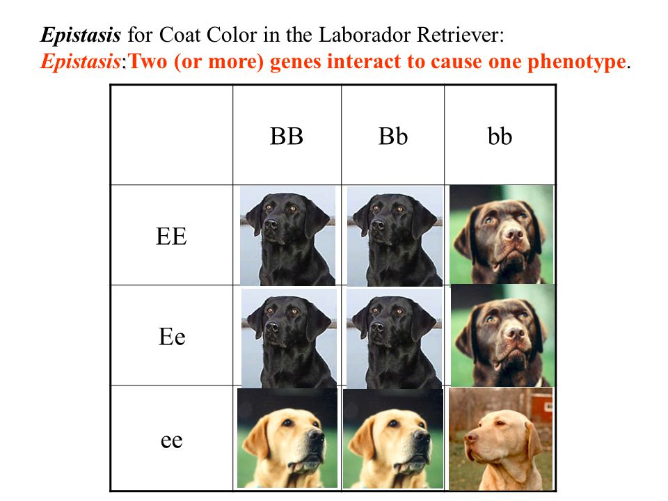BBBbbb EE Ee ee Epistasis for Coat Color in the Laborador Retriever: : Epistasis:Two (or more) genes interact to cause one phenotype.