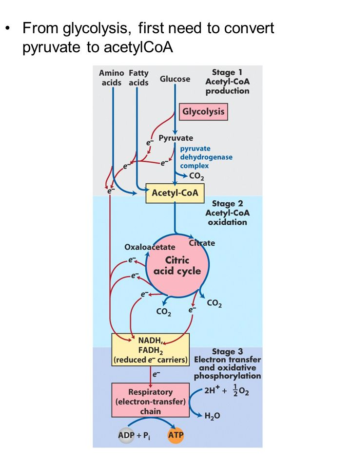 Pyruvate translocase transports pyruvate into the mitochondria in symport with H + Pyruvate dehydrogenase complex (PDH complex) is a multienzyme complex containing 3 enzymes + 5 coenzymes + other proteins (+ ATP coenzyme as a regulator) E1 = pyruvate dehydrogenase E2 = dihydrolipoamide acetyltransferase E3 = dihydrolipoamide dehydrogenase