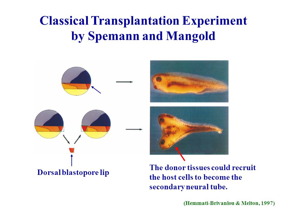 Classical Transplantation Experiment by Spemann and Mangold Dorsal blastopore lip The donor tissues could recruit the host cells to become the seconda