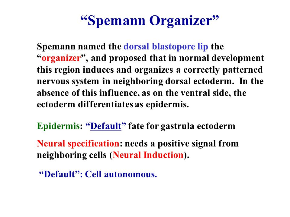"Spemann named the dorsal blastopore lip the ""organizer"", and proposed that in normal development this region induces and organizes a correctly pattern"