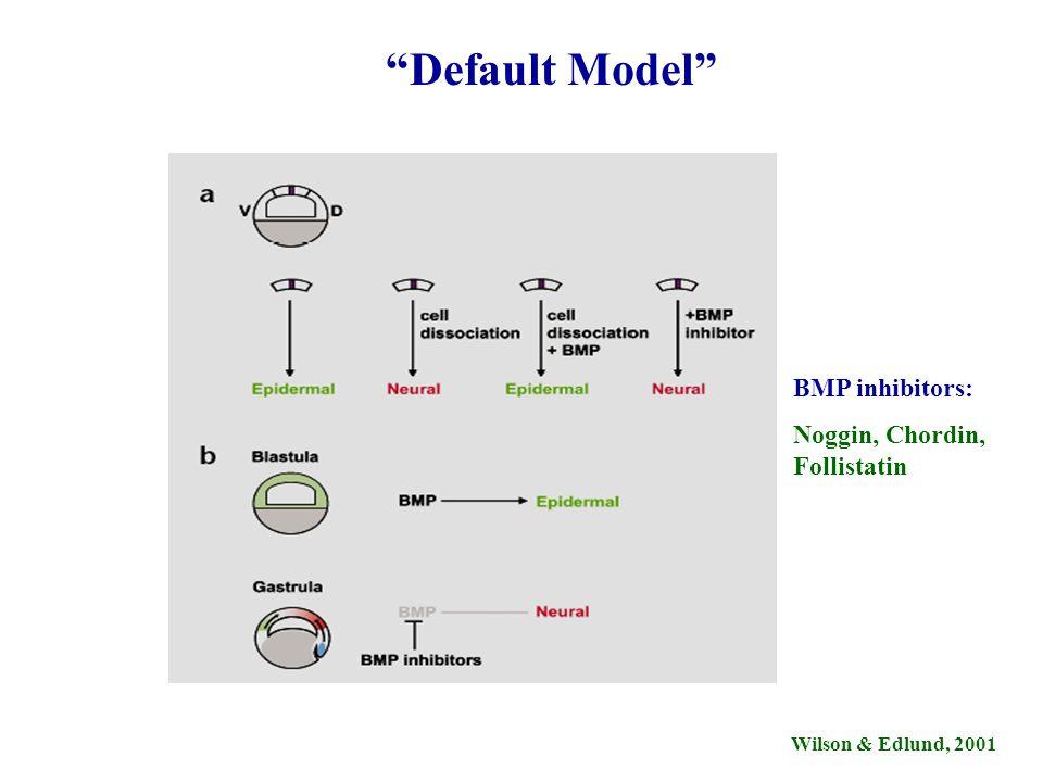 Default Model BMP inhibitors: Noggin, Chordin, Follistatin Wilson & Edlund, 2001