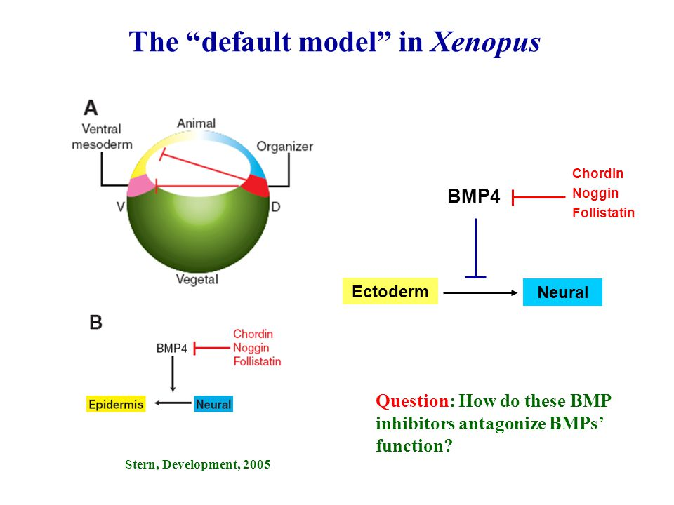 "Stern, Development, 2005 The ""default model"" in Xenopus Question: How do these BMP inhibitors antagonize BMPs' function? BMP4 Neural Ectoderm Chordin"
